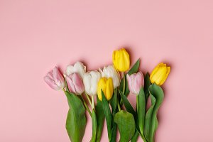 Tender blooming tulips isolated on p