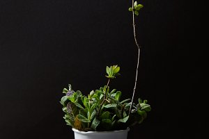 front view of mint leaves and branch