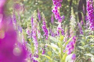 Pink Bellflowers