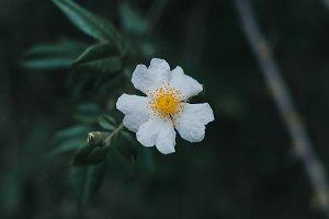 Moody white flower