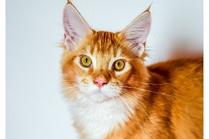 Maine Coon cat Giant maine coon cat