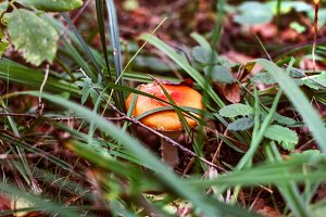Mushroom in grass of autumn forest