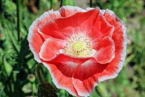 Opened scarlet poppy large
