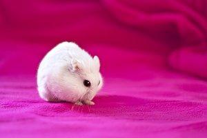 White hamster on pink backg