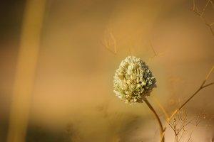 Italian meadow flower