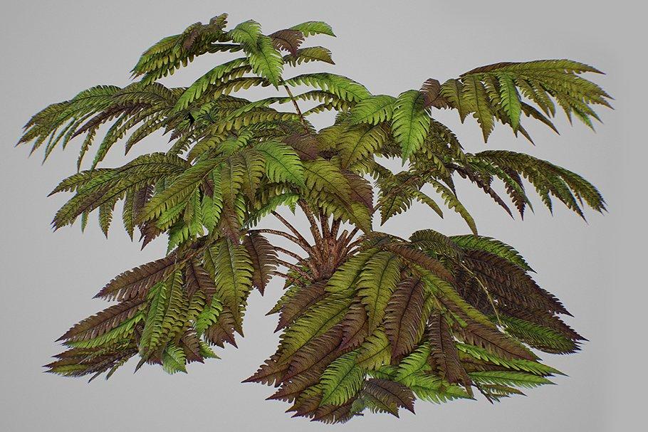 Alsophila fern old