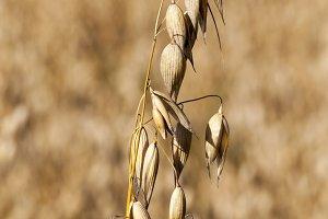 oat mature dry yellow
