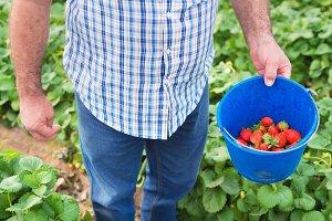 Farmer holding bucket of strawberrie