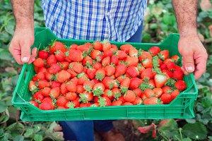 crate full of fresh strawberries.