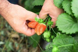 Farmer's hands picking strawberries