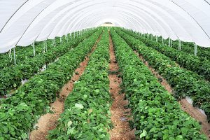 Industrial growth of strawberries