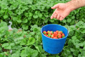 Farmer holding strawberry bucket
