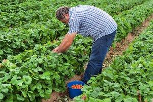 Farmer picking strawberries