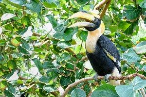 Great Hornbill in Thailan