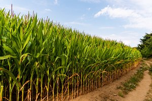 Close up of corn field in the