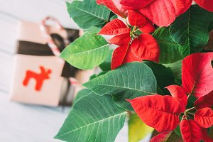 poinsettia Christmas star and gift b