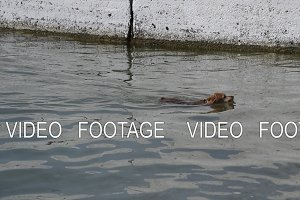 The dog swims to the shore of the