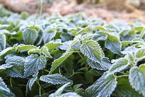 morning frost on green plants