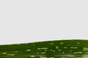 closeup shot of aloe vera leaf isola