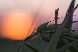 A macro of a Barley