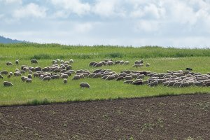 Flock of sheep in the meadow of Extr