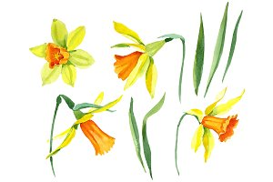 Narcissus lemon flower PNG set