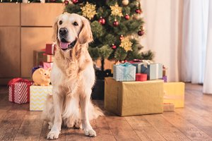 funny golden retriever dog sitting n