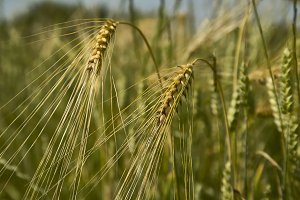 Ears of wheat
