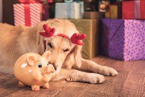 golden retriever dog in deer horns l