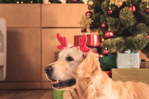 funny golden retriever dog in deer h