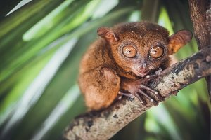 Tarsier in Bohol Tarsier sanctuary