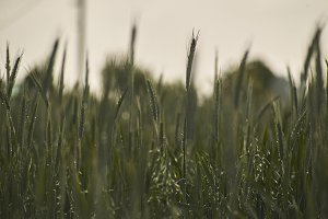 Texture of a wheat field
