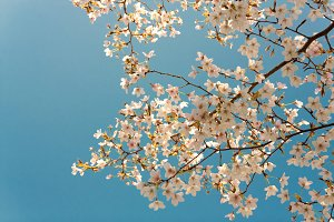 Sakura in bloom on a sunny day