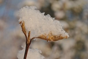 Dry Leaf Covered with Snow