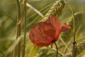 Corn poppy III