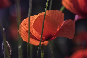 Corn poppy II