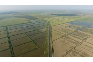 Growing rice on flooded fields. Ripe