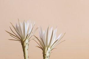 Echinopsis flower