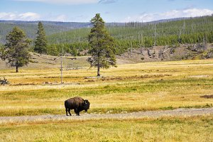 The bison is grazed