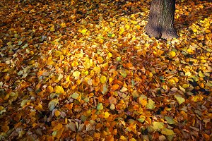 Orange autumn leaves carpet backgrou