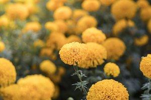 Marigold flower close up