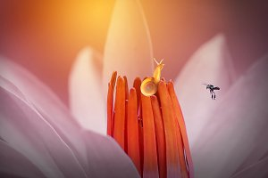 Snail with Bee on Flower Lotus