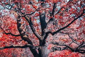 Fantasy old oak with red foliage