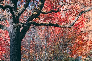 Fairytale old oak with red foliage