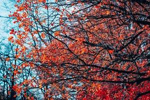 Beautiful pattern red foliage