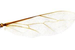 Microscope photo. bee wing