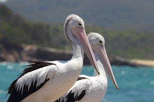 Two Australian Pelicans