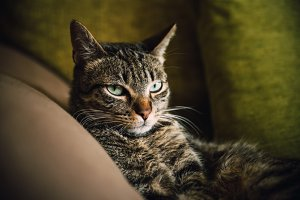 Tabby cat portrait in a couch