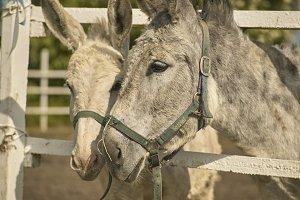 Two Donkeys in a breeding