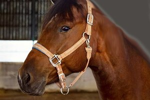 Horse dream on looking horse racer -